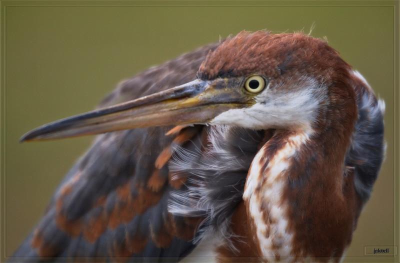 Tri-color Heron Fledgling (aka Louisiana Heron) Profile
