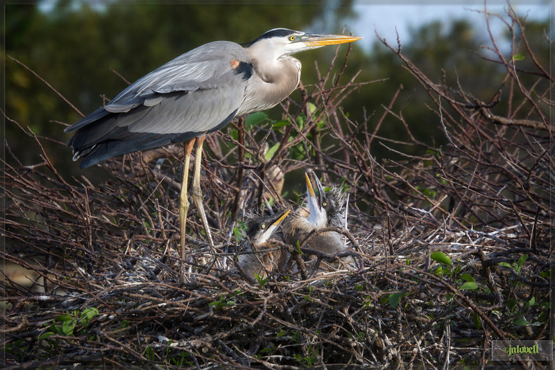 Following the development of chicks at the Great Blue Heron & Wurdmann's nest -<br /> I do not notice coloring in these young different than the usual Great Blue Heron Young so far. Pictured here with the Great Blue parent, they were alone in the nest for awhile without mom and dad this visit. Jan 24th parents were sitting on eggs..today Feb 19th...growing fast.