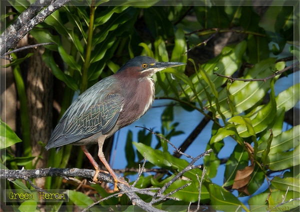 Green Heron at  Wakodahatchee Wetlands straying a short distance from the nest it is building amid lush foliage.