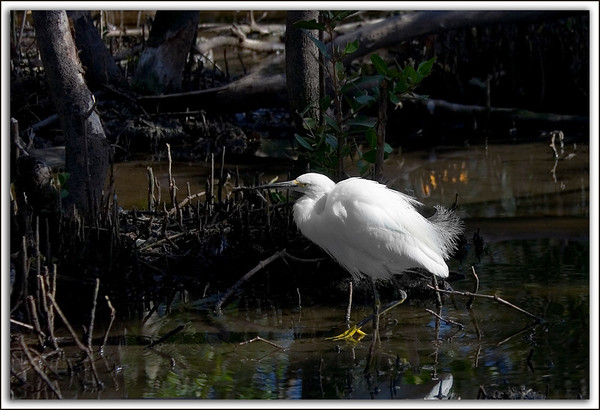 Fluffed Up...Snowy Egret...Key Largo, Florida