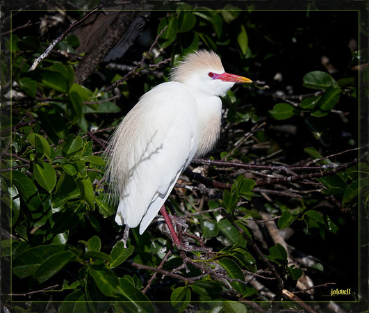 Cattle Egrets take on a range of colors during the breeding season. As this bird exhibits, the iris of eye, the bill, and the legs become red for a brief period before pairing. The nesting cattle egret will still have the orangy-buff plumage on its back, head and chest when the bright red fades.