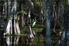 Florida, Big Cypress Preserve: White Egret strolls in the swamp beneath stately Cypress trees