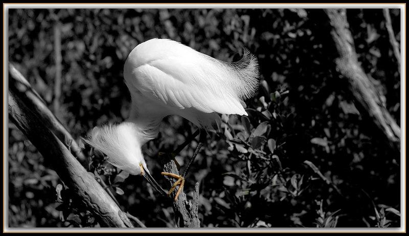 """Distinguishing Feetures""....colorful yellow ""slippers"" distinguish Snowy Egrets...Key Largo, Florida"