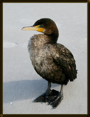 Cormorant....Naples Beach, Florida