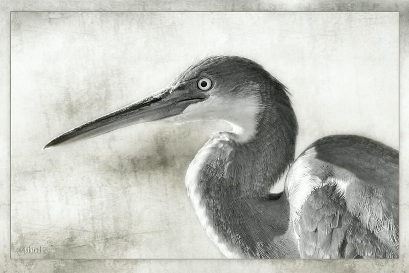 High Key Textured Portrait - Fledgling Tri-Color Heron (aka Louisiana Heron)