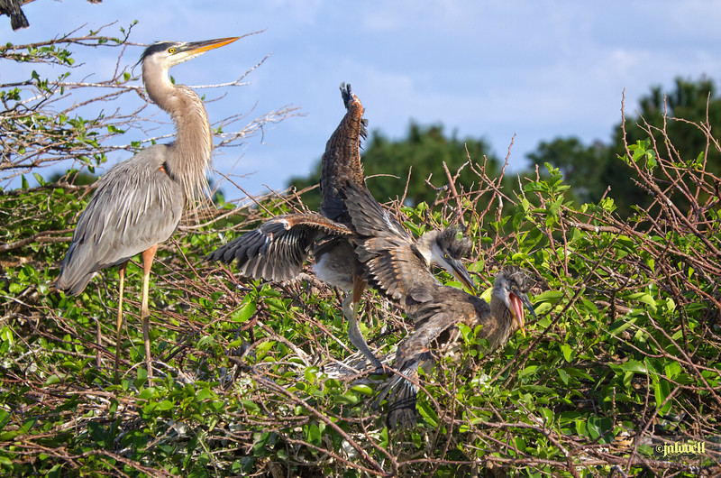 Dominant Great Blue Chick harrasses its weaker sibling repeatedly. The parent at no time intervened in the struggles of its young appearing quite detached from it all.  The Law of Tooth and Claw at play even with one's own nest mates.