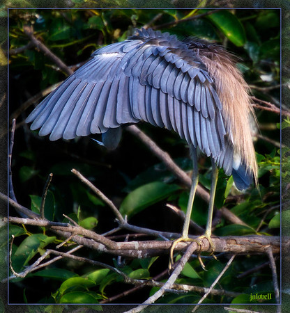 Slate blue feathers take on a purple hue and contrast beautifully with coppery sunlit plumes of  the preening Tri-color Heron (aka Louisiana Heron).