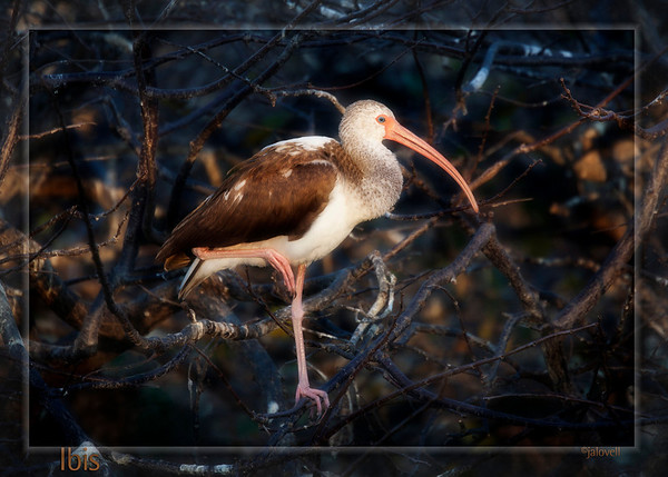 Juvenile Ibis at Wakodahatchee-Late day sun illuminates bird and casts gold into a maze of shadowy branches