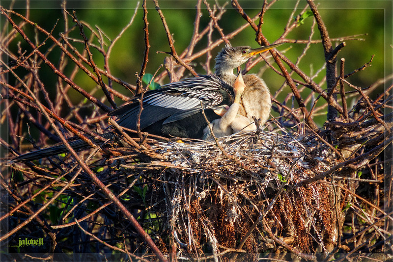 Female Anhinga sits on her nest with two hungry chicks in late day sun.  Tell tale signs of the feeding redden her beak. The nest is woven of twigs with branches of cypress draped down the edge.