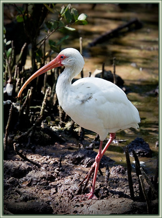White Ibis treads delicately in the mud....Key Largo, Florida