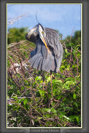 Great Blue Heron Preening in an artistic pose with a head angle Audubon might have liked.