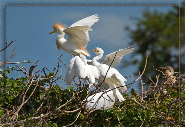 Cattle Egret preparing to leave the brood after feeding.