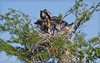 #5 Feeding time is a series of maneuvers where the nestlings grasp at the parent's bill and pull down to get their meal.