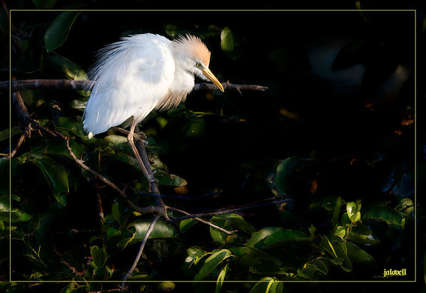 Cattle Egret in nesting colony in late day light amidst tattered, crusty leaves.