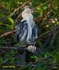 Young Anhingas at  Wakodahatchee...late day light at the nesting colony
