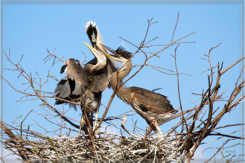 Nestlings compete for a feeding from their parent. Nestlings soon to be fledglings.The baby Great Blue Herons can stay in the nest for three months but are ready to survive on their own at about two months.