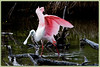 Roseate Spoonbill..Key Largo, Florida