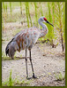 Sandhill Crane at Wesley Chapel, FL - its muddy bill from hunting in the saturated soil from TS Fay.