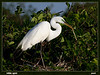 White Egret with twig - nesting