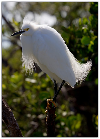 Snowy Egret in Nesting Plumage...Key Largo, Florida