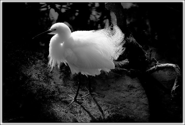 Snowy Egret in breeding plumage fluffed up..Key Largo, Florida