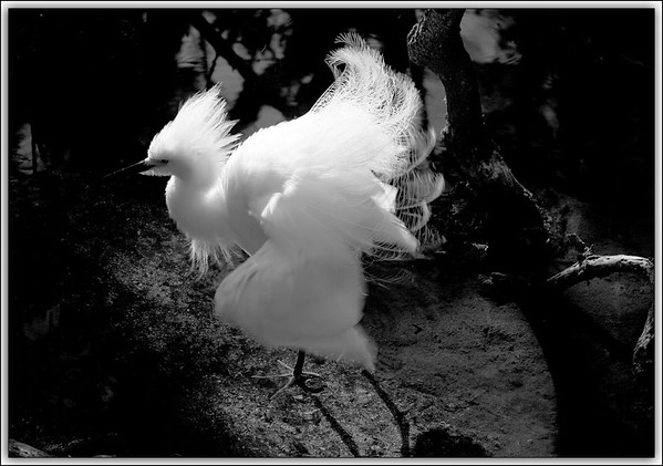 Super Fluff.....Snowy Egret...Key Largo, Florida