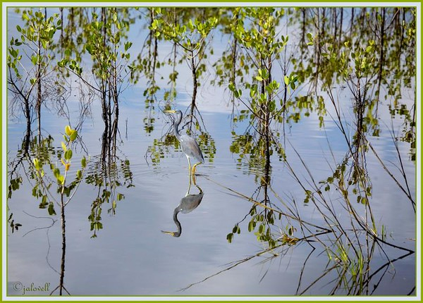A Louisiana Heron wades in a maze of mangrove seedlings and their reflections along Black  Point Wildlife Drive in Merritt Island National Wildlife Refuge, Titusville, Florida