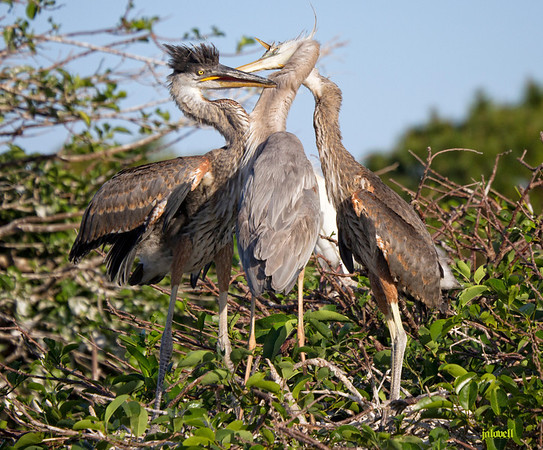 Wurdmann's Heron feeding her growing chicks. The interaction of the bills is fascinating to me, yet it is a scene repeated over and over in heronries whereever they occur.