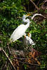 White Egret with Two Cute Chicks around 3-4 weeks old. Baby birds do grow fast!