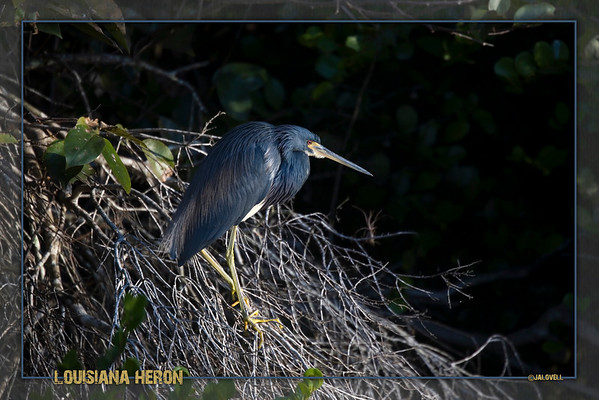 Loluisiana or Tri-Color Heron in the morning light along the Tamiami Trail in the Big Cypress Preserve