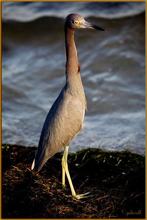 Little Blue Heron: Sunset in Merritt Island, Florida in curious erect posture
