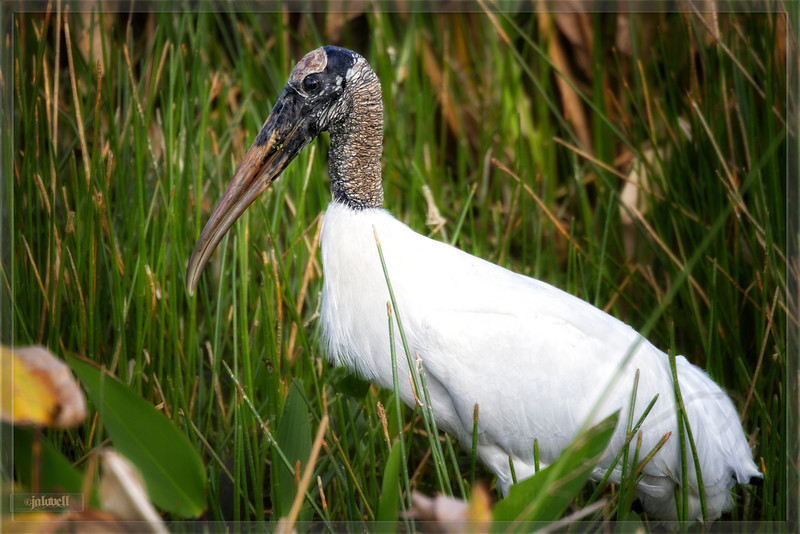 """Woodstork Profile - Late afternoon traipse through the marsh swishing for food. """"Old Flinthead"""" aptly named for the flinty texture of its neck."""