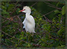 Cattle Egret standing his ground at the nesting colony!!