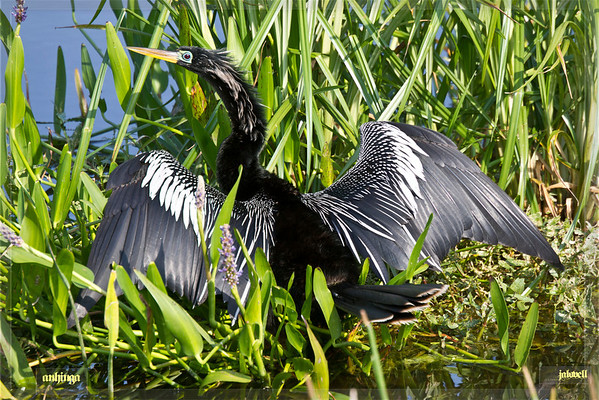 Anhinga speading its wings among pickered weed