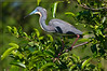 Tri-Color Heron aka Louisiana Heron in Pond Apple Tree...is colors contrasting beautifully against the wetland verdure.  <br /> <br /> During breeding season the Tri-color heron's coloring intensifies. The bill turns an unbelievably bright blue with purple and it develops a white head plume. Buff colored plumes cascade down its back and its normally yellowish legs turn bright red.
