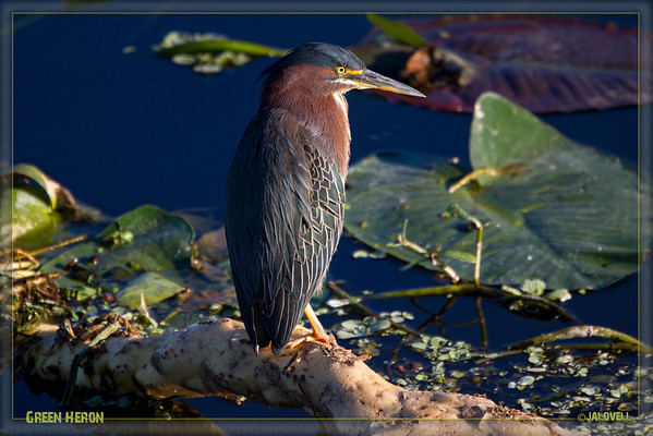 Green Heron catching late day rays