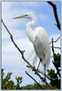 Great Egret (American Egret)......Key Largo, Florida