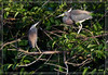 Tri-color Herons Interracting at nesting colony