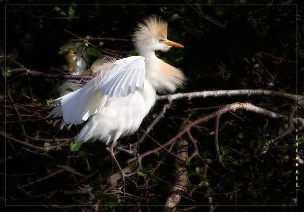 Nesting Cattle Egrets