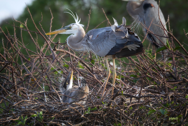 Wurdemann's at the nest with her beautiful wind-ruffled white head plumes and feathers. Young one looking up expectantly. Can't tell it here but  she has a large fish contained in her gullet. See subsequent image.
