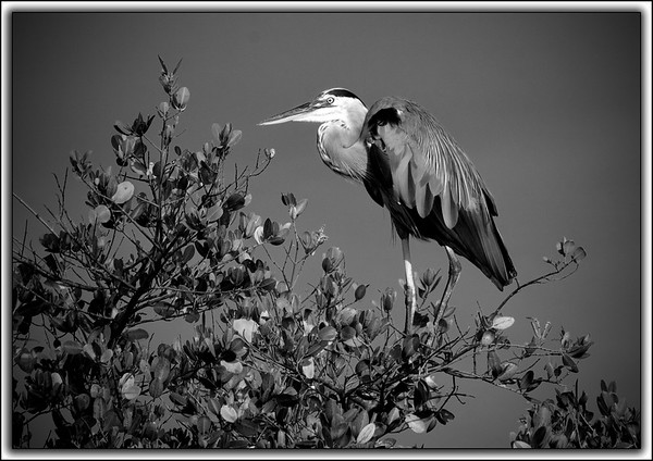 Great Blue Heron: Ulumay Bird Preserve, Merritt Island, Florida