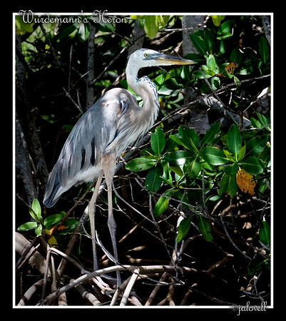 Wurdemann's Heron amongst the mangroves...Flamingo, Florida