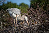 Wurdemann's Heron at Wakodahatchee tending its nest:<br /> <br /> A Wurdemann's Heron is a mix between the Great Blue Heron and its Great White Heron color morph. As the Great White Heron is truly a bird of the Florida Keys and the Southern Everglades seeing a Wurdemann's as far north as Wakodahatchee seems very unusual to me. <br /> Logically its mate would more likely be a Great Blue in this locale and that was indeed the case when the other parent arrived sometime after this shot.