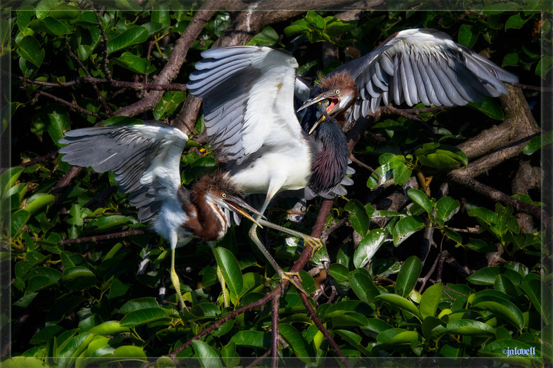 Louisiana Herons (Tri-color herons) - Chicks chasing down their parent for a meal. Here the parent is pretty well caught at the moment!! This quick and dainty species is the most entertaining to observe!!