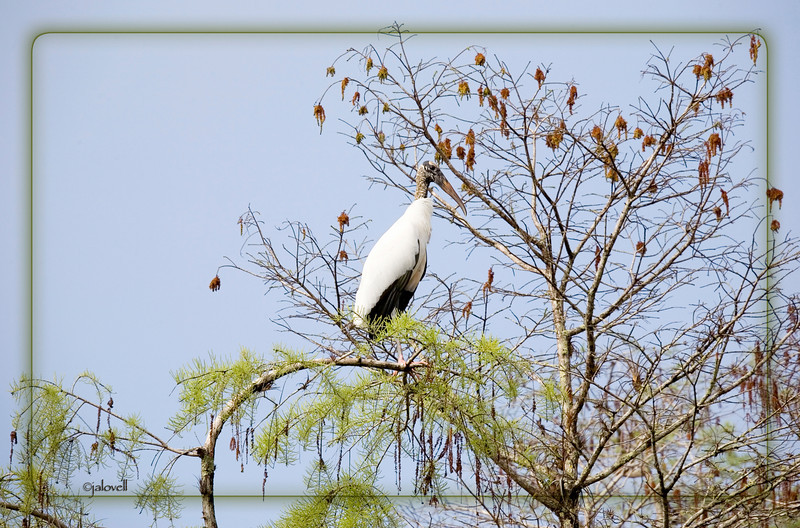 Wood Stork in the Cypress Trees along Loop Road in the Big Cypress Preserve. Wood Storks are also called Wood Ibis or Flint Head and are on the endangered species list since February 28,1984. The scientific name is Mycteria americana.