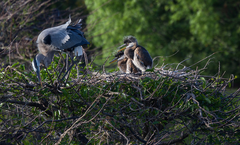 Great Blue Heron babies with their busy parent. Amazing how fast they seem to be growing!!
