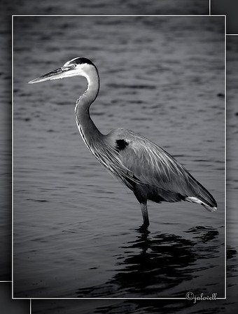 Black and White conversion of a Great Blue Heron catching the late afternoon sun and shadows...Merritt Island.