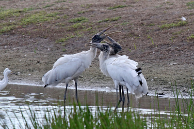Adult and juvenile Wood Storks