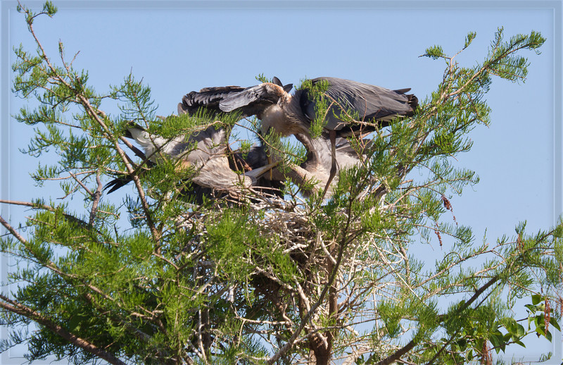 #3 Nestlings have pulled the parent's beak down into the nest  to get fed.