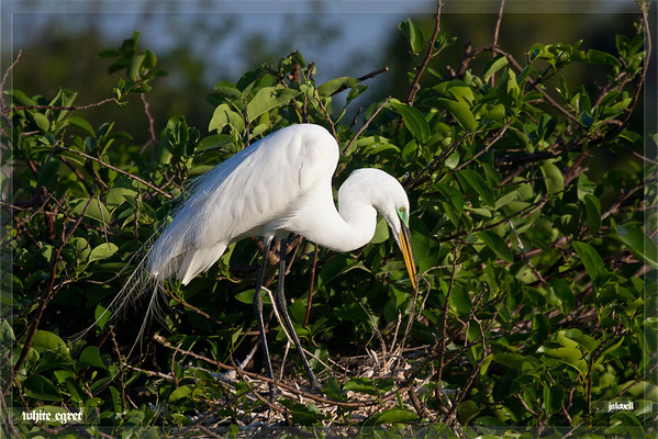 White Egret - nest building with twig<br /> Mating colors include the bright green near the eye above the bill as well as the lovely mating plumage.